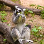 Houston Zoo Ring Tailed Lemur Eating Lettuce