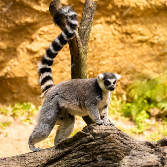 Houston Zoo Ring Tailed Lemur standing side profile