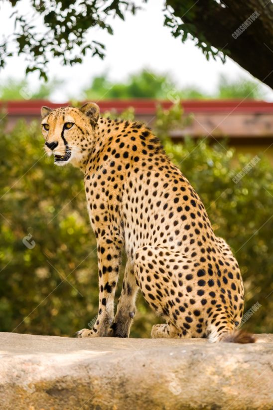 Houston Zoo Cheetah Sitting Side Profile