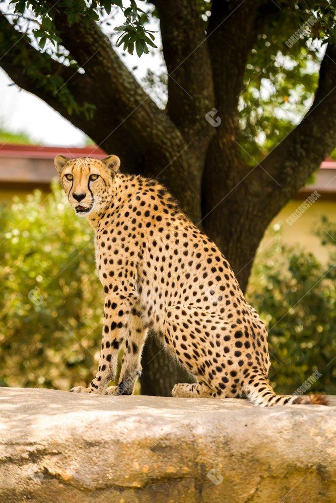 Houston Zoo Sitting Cheetah Side Body Profile Facing