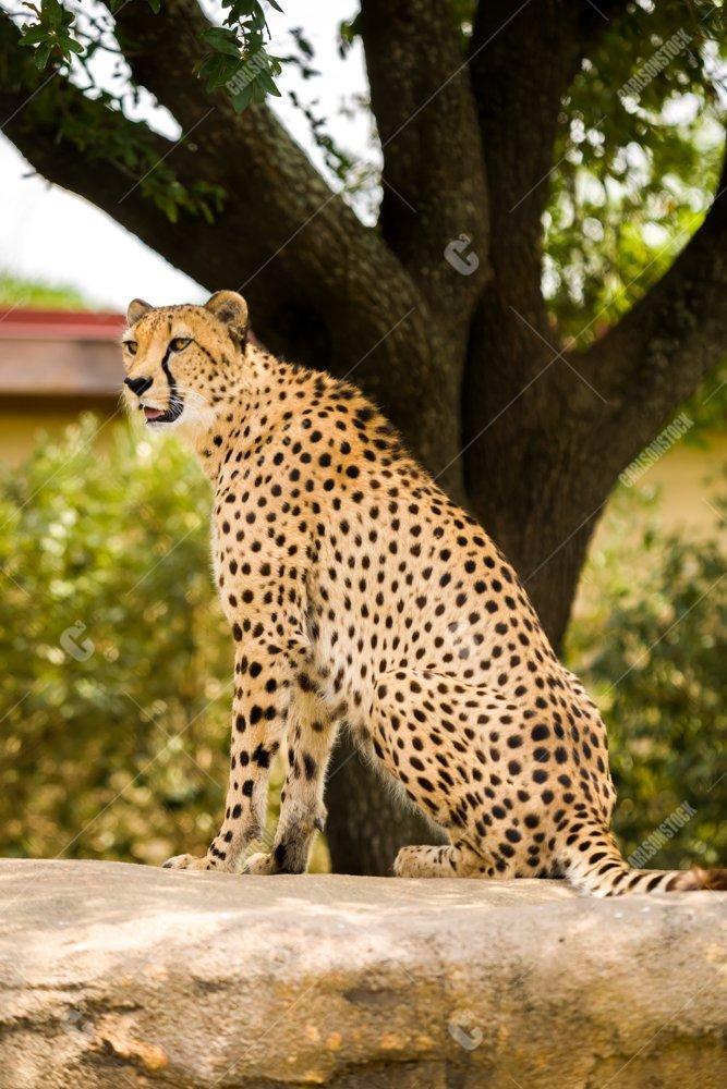 Houston Zoo Cheetah Sitting Side Profile V