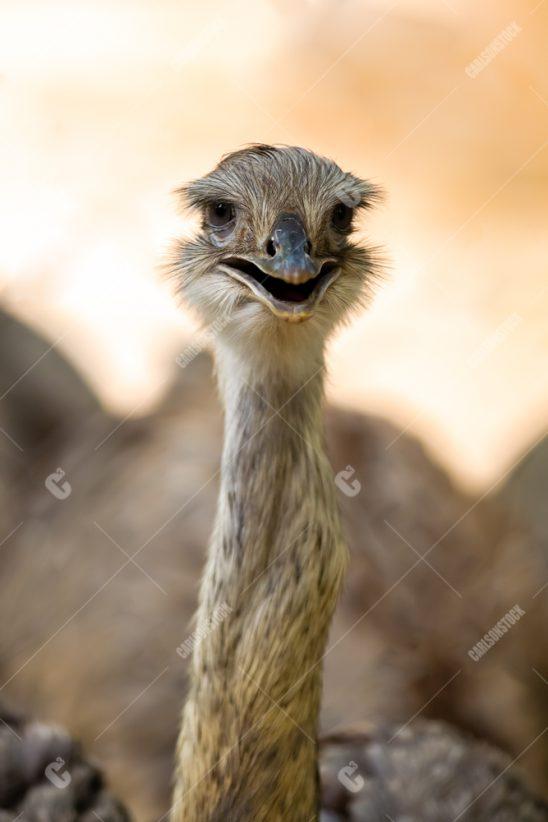 Houston Zoo Ostrich Closeup Facing Camera