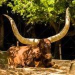 Ankole Cow Houston Zoo Facing Camera
