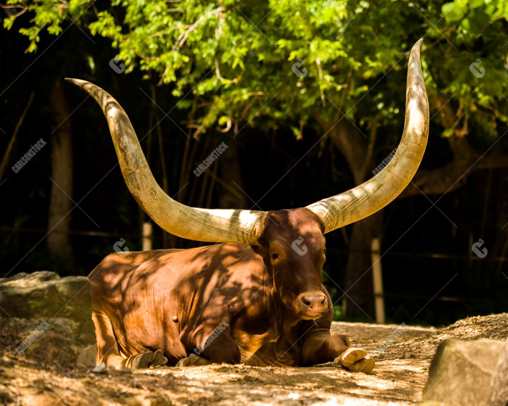 Ankole Cow Houston Zoo Facing Camera