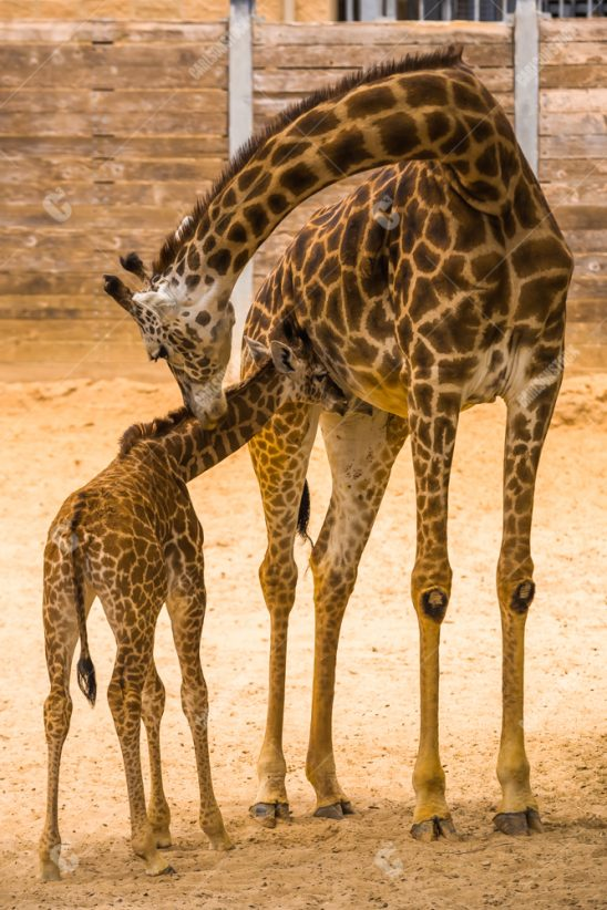 Giraffe Mother with Baby Giraffe Houston Zoo