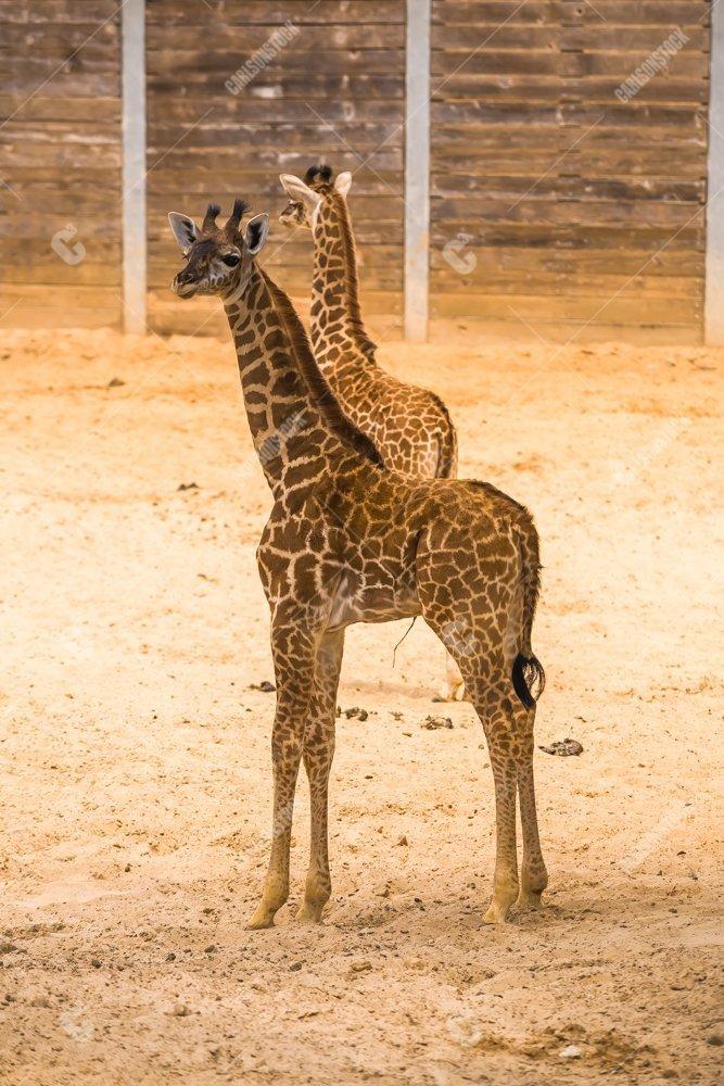Two Baby Giraffe Houston Zoo