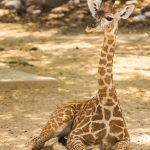 00108-carlsonstock- Baby Giraffe at Houston Zoo