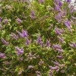 00110-carlsonstock-Lavender Flowers on Large Bush
