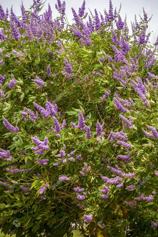 Lavender Flowers On Large Bush Carlsonstock