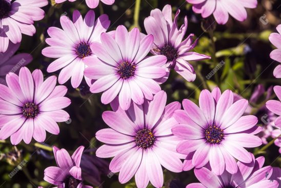 00113-carlsonstock-Pink and White Daisies