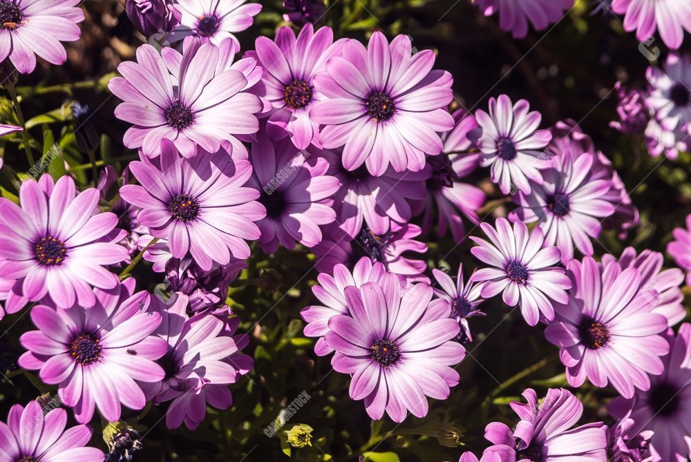 00114-carlsonstock - Pink and White Daisies